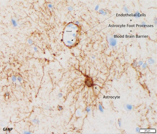 Astrocytes and the blood brain barrier